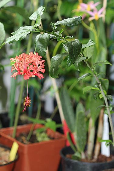 Hibiscus : conseils de culture et floraisons 10109310.b54e277d.560