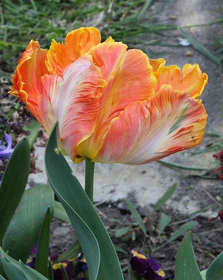 Tulipa - grands hybrides - tulipes chics et kitch (sections 1 à 11) 10409391.717c6ac0.560