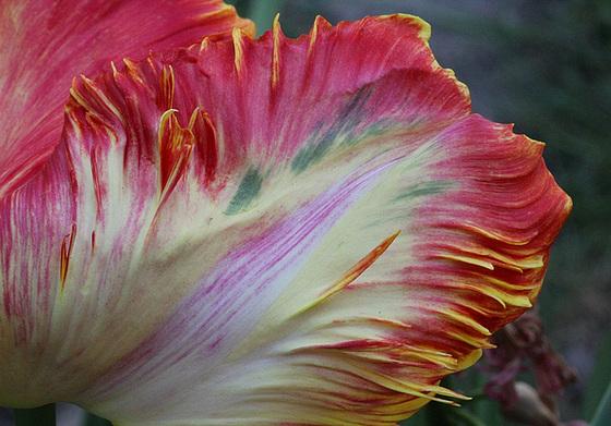 Tulipa - grands hybrides - tulipes chics et kitch (sections 1 à 11) 10409392.cc4aac3b.560