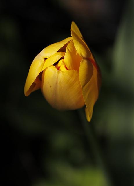 Fan, fan de tulipe....