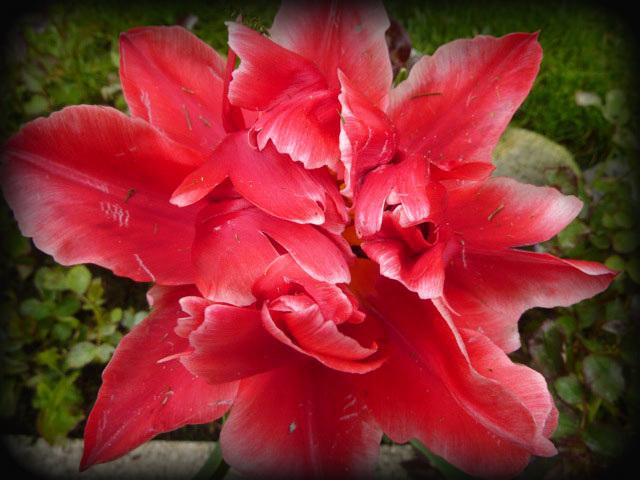 tulipe épanouie