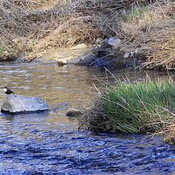 20110319 0435Aw [D~LIP] Wasseramsel (Cinclus cinclus), Werre, UWZ, Bad Salzuflent