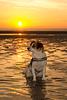 Jack Russell Terrier Clifford DSC06390