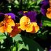 Hornveilchen in orange und violett