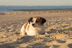 Jack Russell Terrier Clifford - Niederlande Cadzand DSC06205