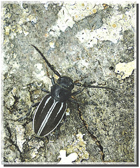 Iberodorcadion pyrenaeus