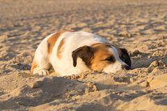Jack Russell Terrier Clifford - Niederlande Cadzand DSC06204