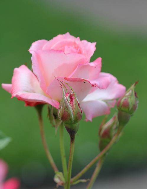"""Rose """"Elle"""""""