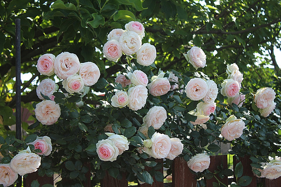 rosier 'Pierre de Ronsard' 10659619.7720a01c.560
