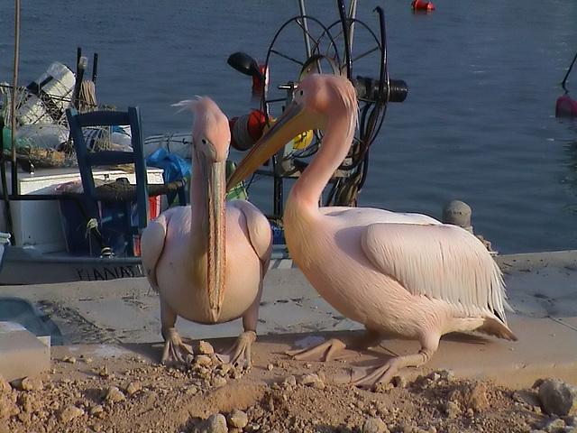Pelikane in Agia Napa