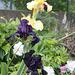 Iris- Noir et jaune