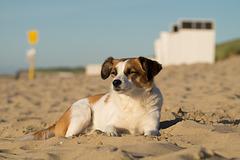 Jack Russell Terrier Clifford - Niederlande Cadzand DSC06115