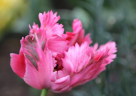 Tulipa - grands hybrides - tulipes chics et kitch (sections 1 à 11) 10479717.2270ac01.560
