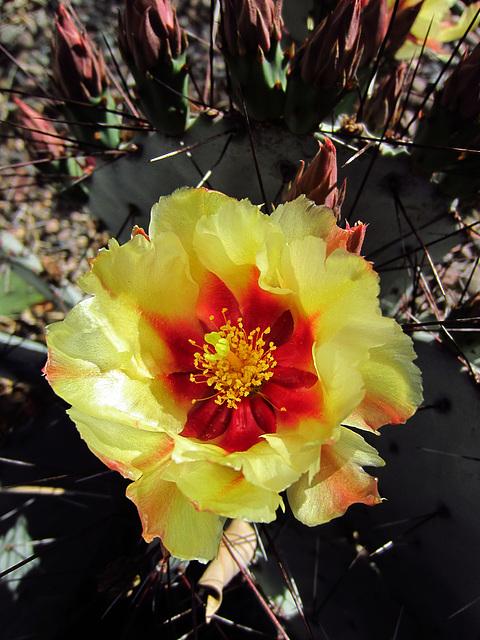Cactus Flower (0132)