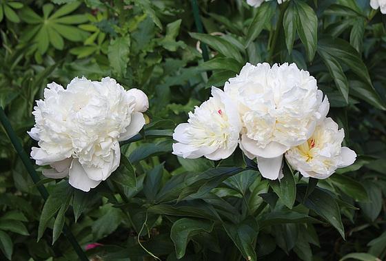 Paeonia - pivoines herbacées 10659747.d9ffafec.560
