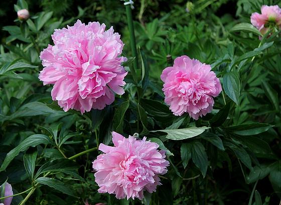 Paeonia - pivoines herbacées 10659769.6a7a0ec8.560