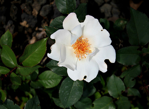 Rose blanche, 'Anne-Aymone Giscard d'estaing'