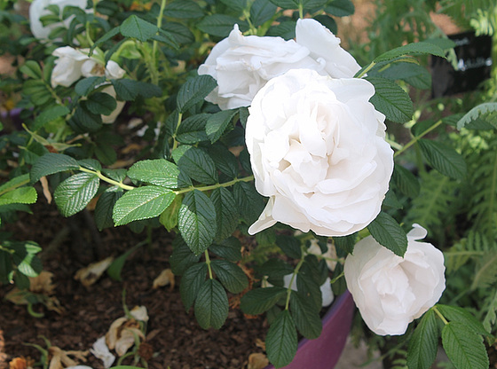 rosier 'White Perfection' 10539778.c4ce6796.560