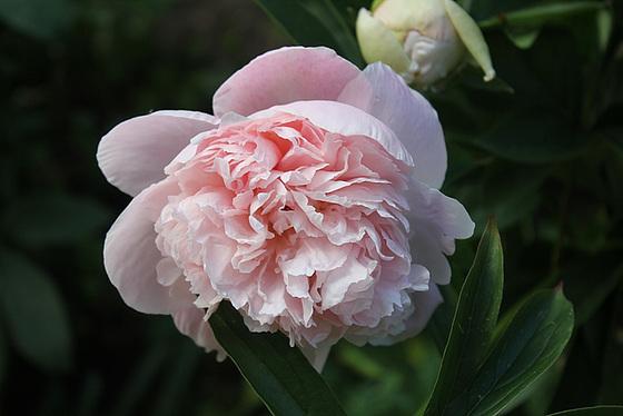 Paeonia - pivoines herbacées 10659778.419be255.560