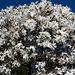 Blütenzauber - Magnolie