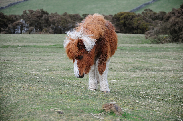 Pony im Dartmoor