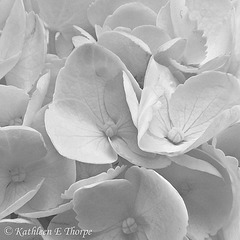Hydrangea high key stacking 071812