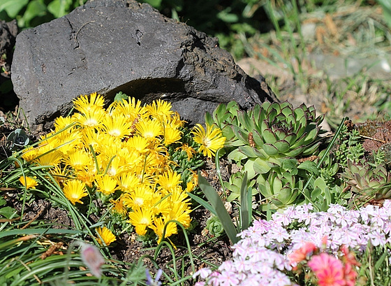 Aizoaceae du jardin  10479909.47382398.560