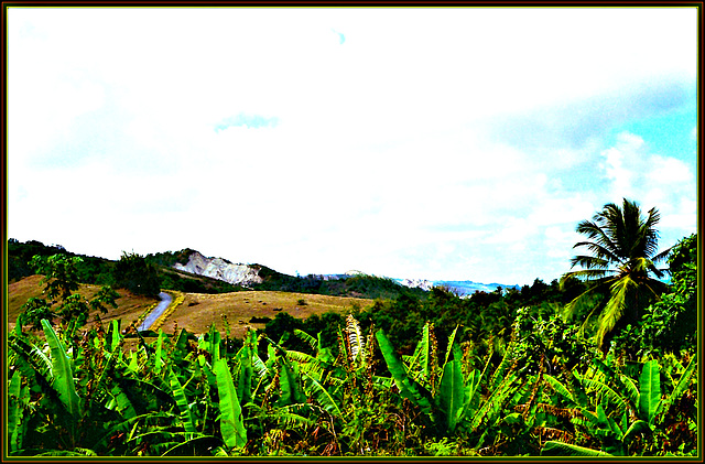 Hillside Banana Field