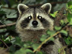 raccoon in the bush
