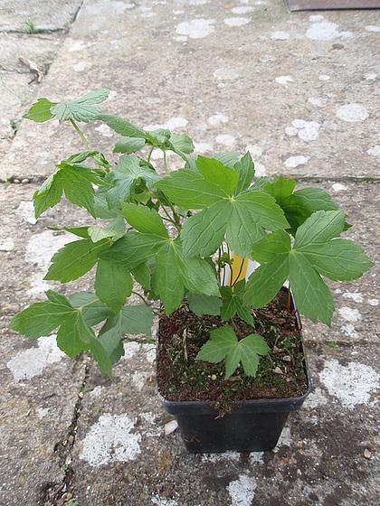 Geranium : espèces et variétés 10309991.e2514ad1.560