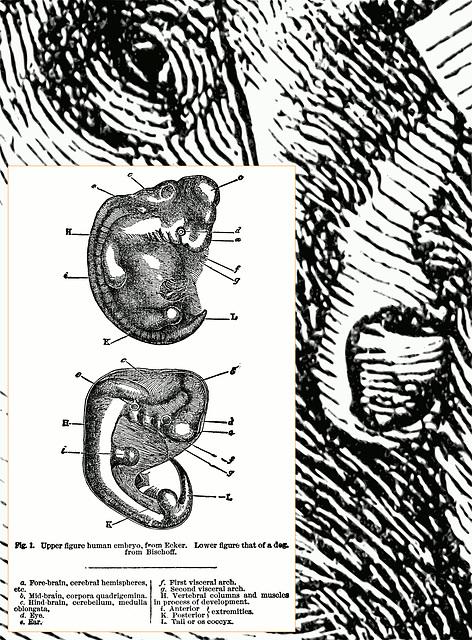 Ear & Embryo