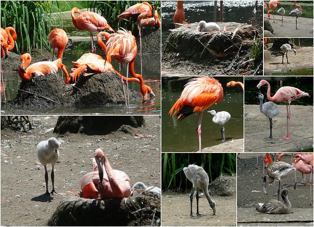 Zoo Dresden - So schnell wachsen Flamingos