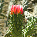 Fleur de Austrocylindropuntia subulata
