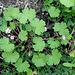 Geranium rotundifolium (2)