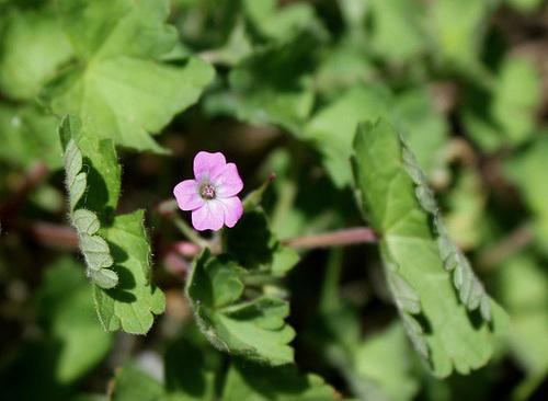 Geranium rotundifolium g ranium feuilles rondes - Geranium feuilles qui jaunissent ...