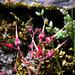 Geranium robertianum (5)