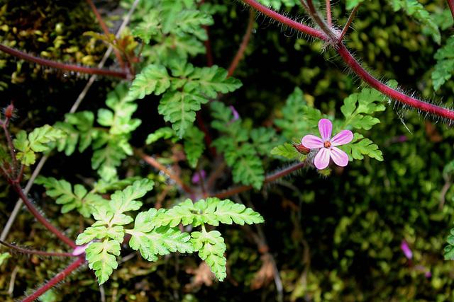 Geranium robertianum (4)
