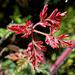 Geranium robertianum (3)