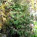 Geranium robertianum (2)