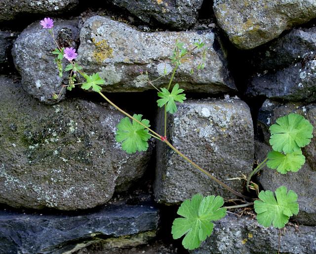 Geranium pyreneicum (3)