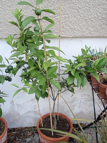 orange sanguinelli P8212866