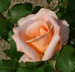 "Rozo / Rose ""Tendresse"" (Tenero)"