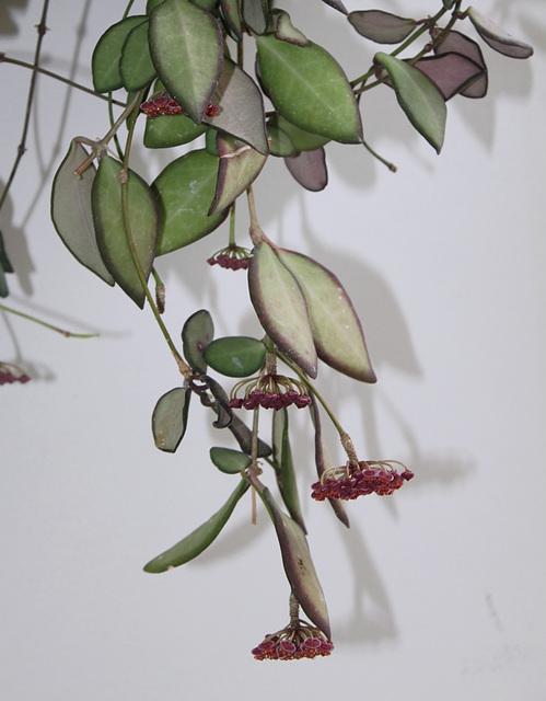 Hoya tsangii (2)