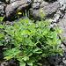 Chélidoine - Herbe aux verrues