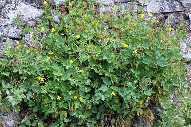 Chélidonium majus - Herbe-aux-verrues