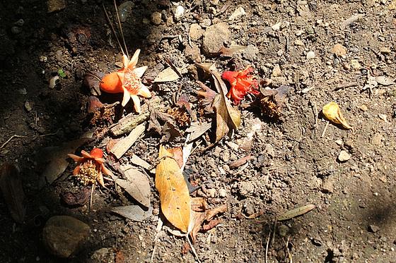 Punica granatum - fleurs de grenadier [devinette] 11020425.d49f1800.560