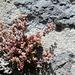 Sedum dasyphyllum 4