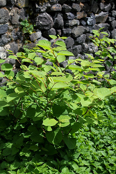 Reynoutria japonica = Fallopia - renouée du Japon 10810464.874eeeaf.560