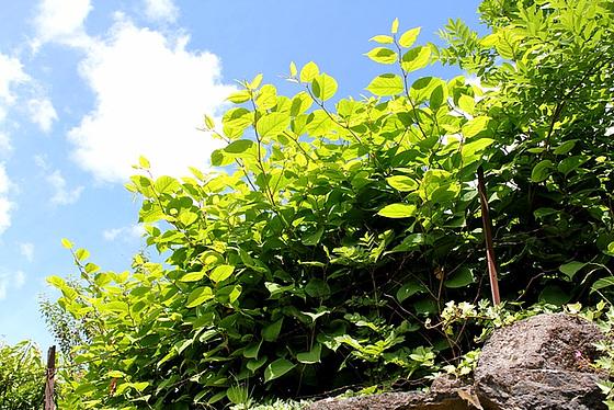 Reynoutria japonica = Fallopia - renouée du Japon 10810465.ddea73b6.560