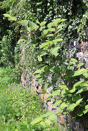 Reynoutria japonica = Fallopia - renouée du Japon 10810466.aa7ed45c.560